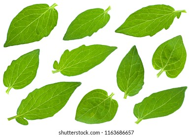 Tomato leaf set closeup isolated on white background