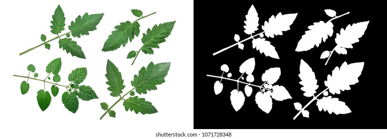 Tomato leaves and leaflets (Solanum lycopersicum, S. pimpinellifolium), top view, clipping paths
