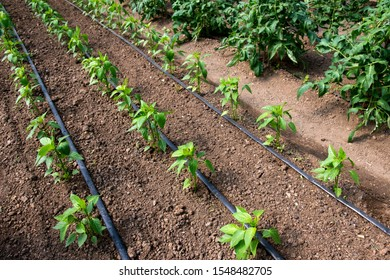 Tomato and pepper plants in a greenhouse and drip irrigation system - selective focus