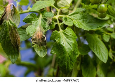 Tomato plague  or phytophtorosis on the plant leaves in the greenhouse, plant disease concept (soft focus)