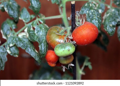 Tomato plant is affected by a fungus or virus. Diseases