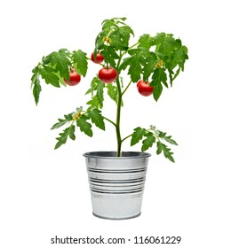 Tomato plant in bucket on white background
