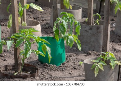 Tomato plant growing in soil