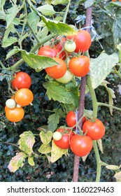 Tomato plant with many fruits