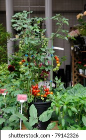 Tomato plant with red and green fruits