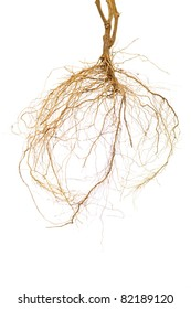 Tomato plant roots on a white background