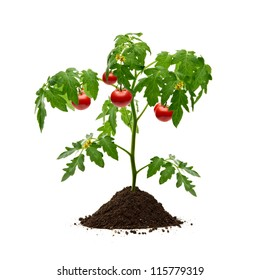 Tomato plant with soil isolated on white background