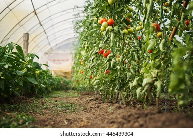 Tomato plantations in a green house.