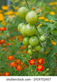Tomato plants with green fruit and marigolds -  companion plants in a permaculture garden. Marigolds help to pollinate more tomatoes.