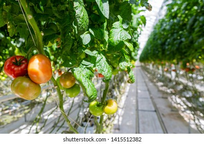 Tomato plants in greenhouse. Agricultural background. Cherry tomatoes. Hydroponics glasshouse. Healthy food production. Tomato branch. Organic food background