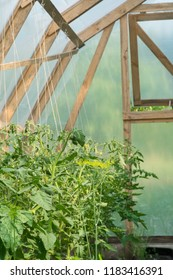 Tomato plants in greenhouse. Organic farming. Agriculture concept.