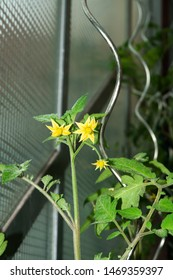 tomato plants in a greenhouse with yellow flowers