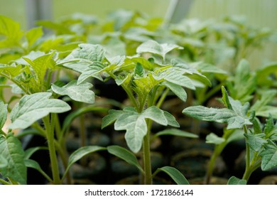 Tomato plants growing in a greenhouse.  Organic gardening.