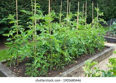 Tomato plants growing outdoors in a garden in England, UK