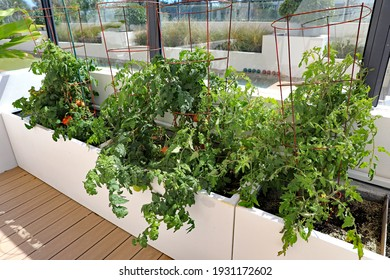 Tomato plants in a home garden on a terrace in containers.