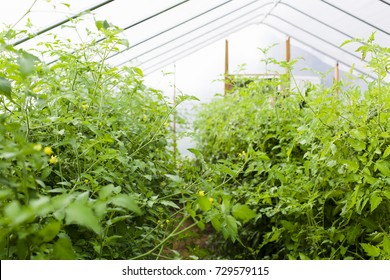 Tomato plants in hot house