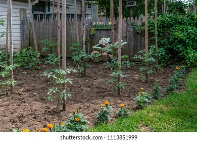 Tomato plants with marigolds in a backyard garden in Central New Jersey.