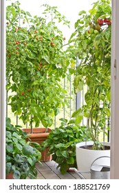 Tomato plants with ripe tomatoes and strawberry plants in big pots on balcony