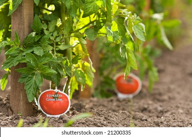 Tomato plants staked and planted in rows