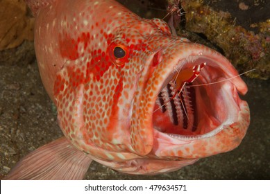 A tomato rock cod having the inside of its mouth cleaned by a cleaner shrimp
