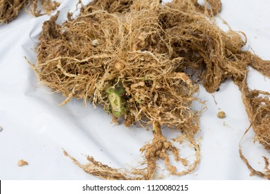 Tomato roots infected by nematodes