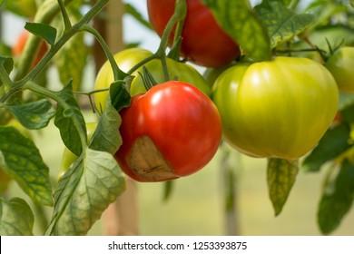 tomato rot-damaged greenhouse