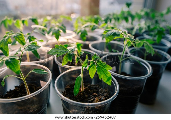 tomato seeding in pots on window sill