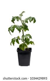 Tomato seedling in black flowerpot isolated on white