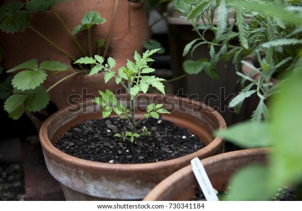 Tomato seedling in a garden pot
