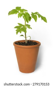 Tomato Seedling Plant On White background