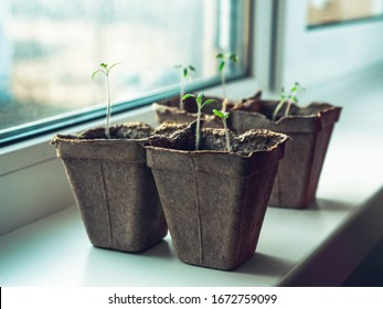 Tomato seedlings in biodegradable pots on the windowsill. Seedlings of tomatoes in peat pots. Baby plants sowing in peat pots. Trays for agricultural seedlings.
