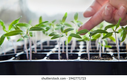 Tomato seedlings growing in a plastic multitray on a sunny windowsill. For a gardener it is the biggest challange to grow vegetables from seeds. - Shutterstock ID 1942771723