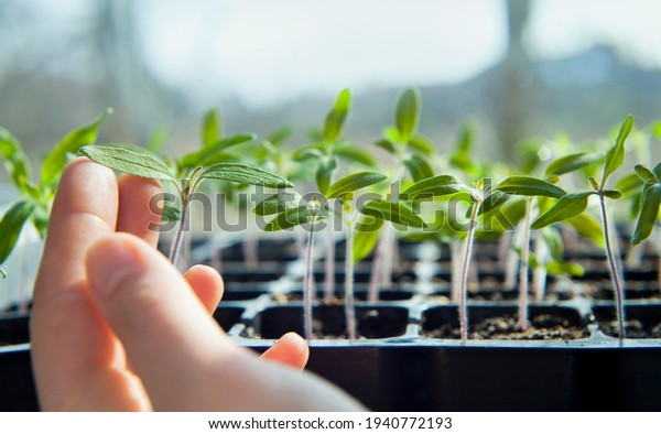 Tomato seedlings growing in a plastic multitray on a sunny windowsill. For a gardener it is the biggest challange to grow vegetables from seeds.