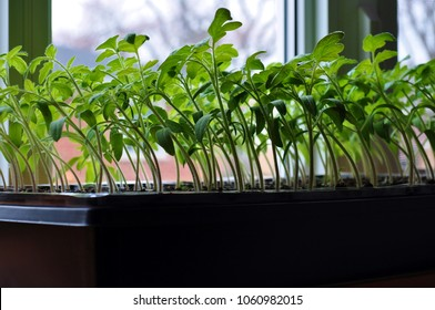 Tomato seedlings growing toward the sunlight on windowsill.