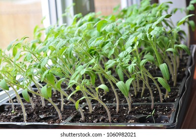 Tomato seedlings growing towards the sunlight on windowsill.