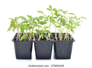 Tomato seedlings in a pot isolated on white background. Young plants in plastic cells; organic gardening