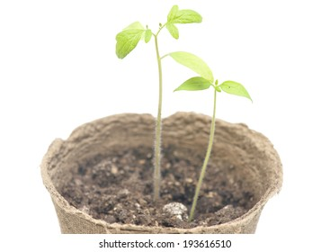 Tomato seedlings in a pot of peat on a neutral background