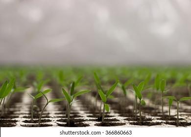 Tomato seedlings sprout Solanum lycopersicum, shallow depth of field CFL grow light HPS grow light