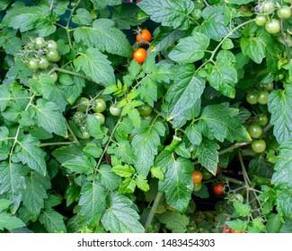 Tomato shrub from the garden. Location: Germany, North Rhine-Westphalia, Borken