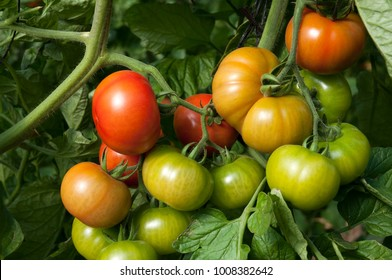 Tomato special species