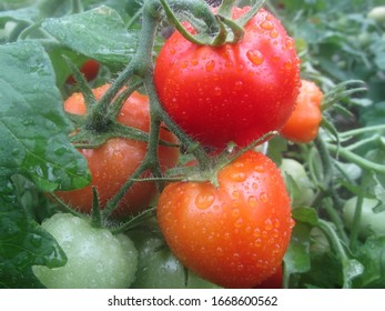 Tomatoes are covered with drops of water