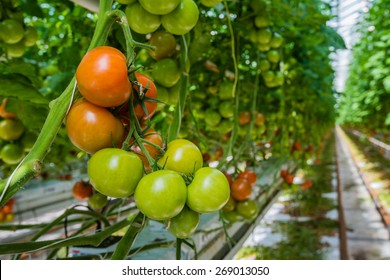 Tomatoes in different colors and stages of growth growing on substrate at tied plants in a large specialized Dutch greenhouse horticulture company.