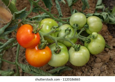 Tomatoes in a field