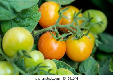 Tomatoes fresh from the farm