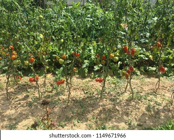 Tomatoes in the garden