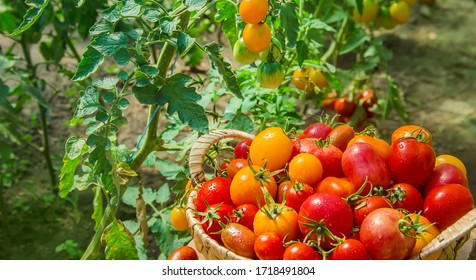 A lot of tomatoes in the garden, harvest. Selective focus. nature.