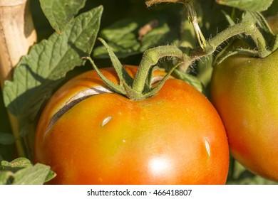 tomatoes , garden, torn