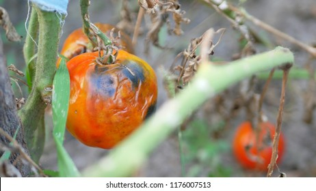 Tomatoes get sick by late blight at garden. Phytophthora infestans causes the serious tomatoes disease known as potato blight