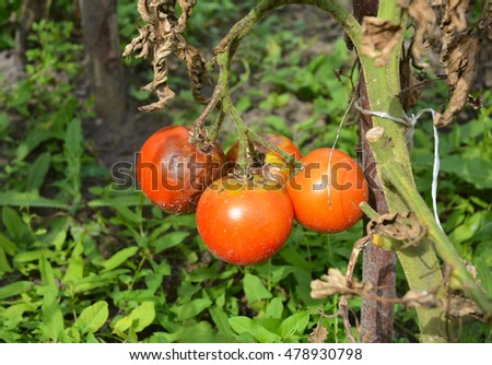 Tomatoes get sick by late blight. Close up on Phytophthora infestans is an oomycete that causes the serious tomatoes disease known as late blight or potato blight.