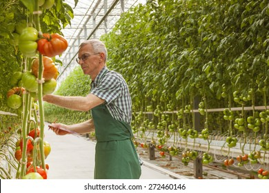 Tomatoes in a Greenhouse